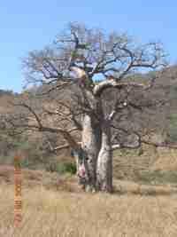 madagaskarboom.jpg